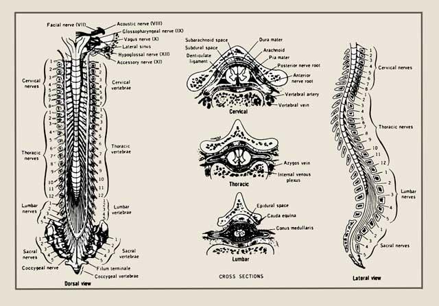 Nerwy - okablowanie naszego ciała